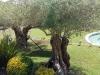 Olijfbomen in de tuin
