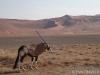 Woestijn gemsbok
